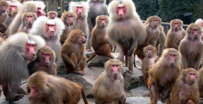 bavianengroep
